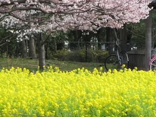 景色菜の花と桜.jpg
